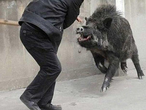 Wild boar drops in for coffee