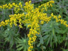 Rho decrees ragweed eradication