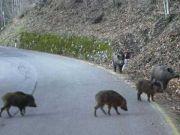 Wild boar invade Milan motorway: 1 dead, 10 hurt