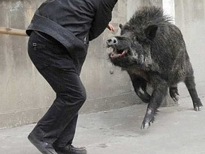 Wild boar drops in for coffee - Wanted in Milan